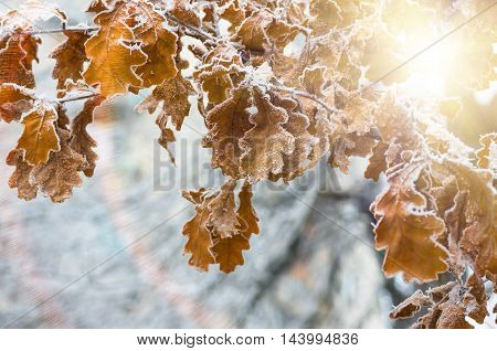 Leaves of oak tree with hoarfrost in forest in the winter