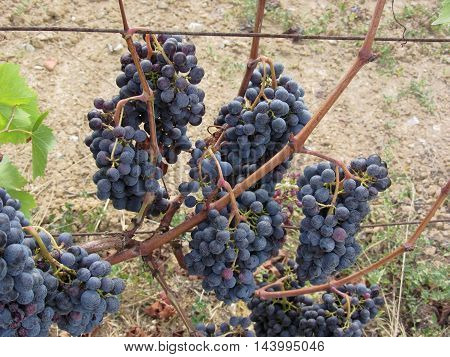 Red grapes on the vine . Tuscany Italy