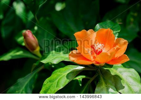 Orange Pereskia bleo (Kunth) blossom known as Rose Cactaceae or Wax Rose.