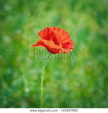 Red Poppy Flower against the Green Background