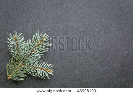 a twig of Colorado blue spruce on gray slate stone