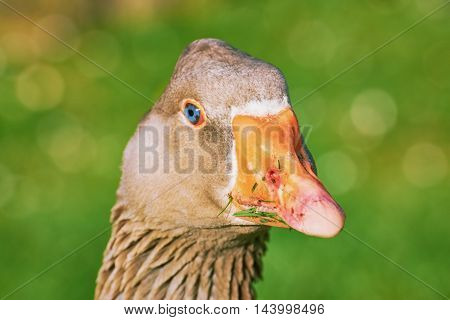 Portrait of Grey Goose against Green Background