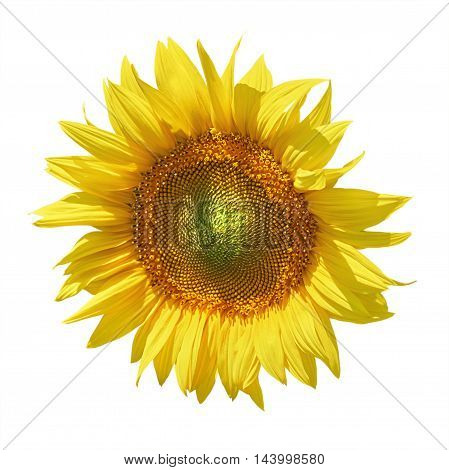 Yellow Ripe Sunflower against the White Background