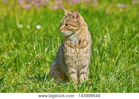 Outbred Cat Sitting On The Green Grass