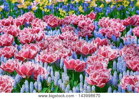 Flowerbed of Fringed Tulips and Muscari Botryoides
