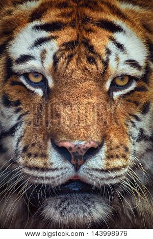 Close Up Portrait of Tiger Looking Ahead
