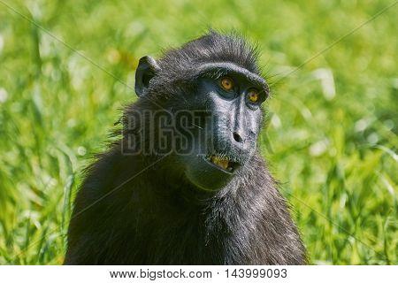 Portrait of Celebes Crested Macaque (Macaca nigra)