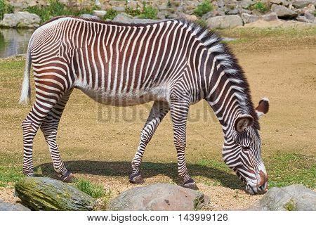 Zebra (Equus Quagga) Feeding on the Grass
