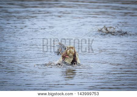 Crocodile Eating An Impala In A Dam In Kruger.