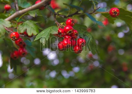 fresh ripe red berries of hawthorn on a branch with green leaves. shallow depth of field.
