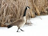 foto of honkers  - A canadian goose walking on snow crossing a frozen pond - JPG
