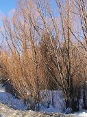 stock photo of cottonwood  - Bare winter cottonwoods glow in the sunset Steamboat Springs Colorado - JPG