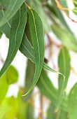picture of tree leaves  - Gum leaves with white background - JPG
