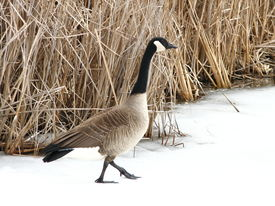 stock photo of honkers  - A canadian goose walking on snow crossing a frozen pond - JPG