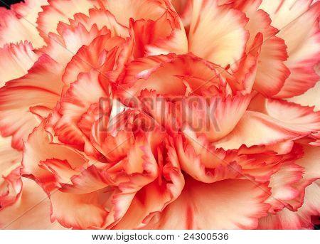 Beautiful Carnation Petals