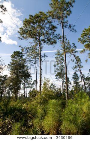 Slash Pines And Saplings Too