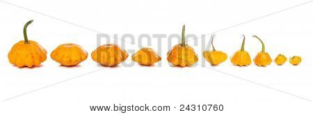Ten Bush Pumpkins Abreast On White Background