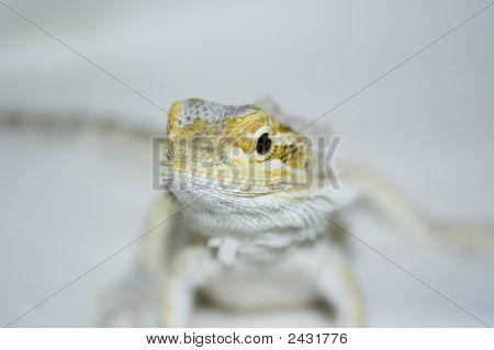 Bearded Dragon 1