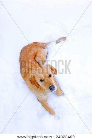 Retrato do cão | Golden Retriever