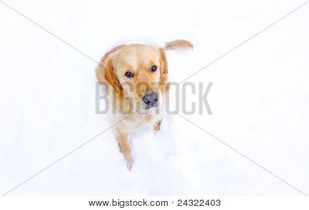 Dog Portrait | Golden Retriever