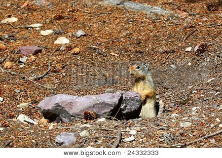 Columbian Ground Squirrel (Urocitellus columbianus)