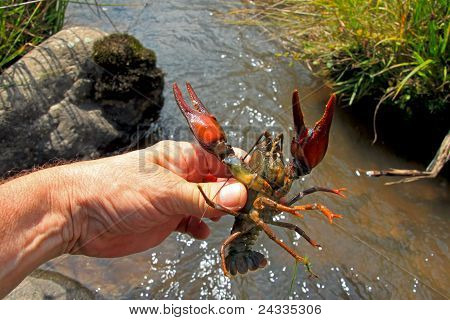 Crayfish In Human Hand
