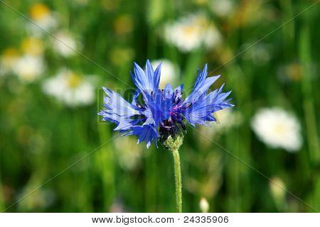 Knapweed Flower