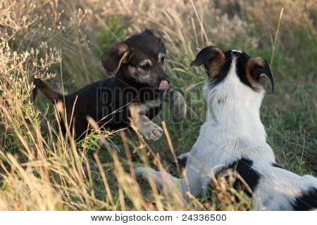 Two Doggies Playing To A Grass