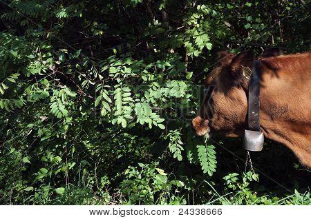 Kuh mit Glocke Essen Acacia verlässt