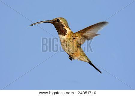 Lucifer Hummingbird (calothorax Lucifer)