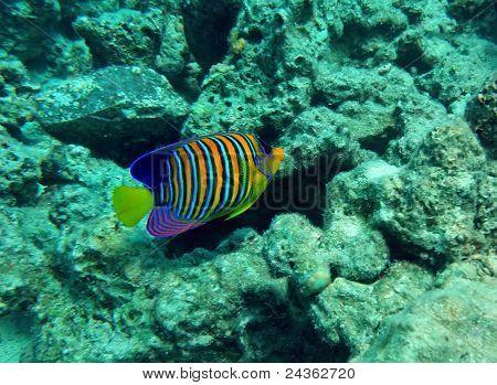 Regal Angel Fish