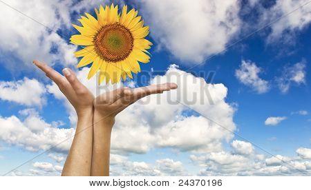 Mãos femininas com um girassol
