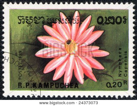 Nymphaea Rosa