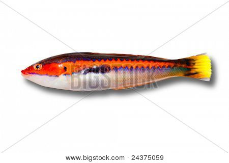 coris julis fish Rainbow Wrasse from Mediterranean isolated on white