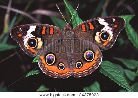 Buckeye borboleta (Junonia coenia)
