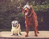 an adorable golden retriever and pug sitting in a park with aviator goggles on toned with a vintage  poster