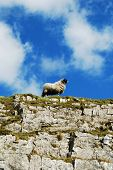 picture of the lost sheep  - Sheep on the rocks in Yorkshire Dales - JPG