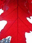 Closeup On Red Autumn Leaf