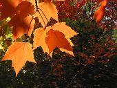 Transparent Orange Fall Leaves
