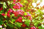 Summer Flower Landscape With Branch Of Summer Hawthorn Tree Pink Flowers, In Latin Crataegus. Closeu poster