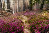 Purple Flowers Carpet In Pine Forest. Forest Nature In Early Spring. Purple Flowers Carpet. Pine For poster