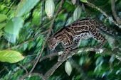 Margay In A Cacao Tree, Panama