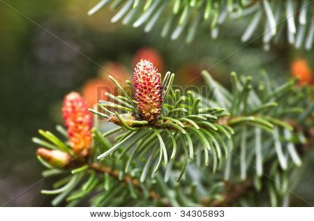 Spring Flowers On Spruce Or Picea Abies