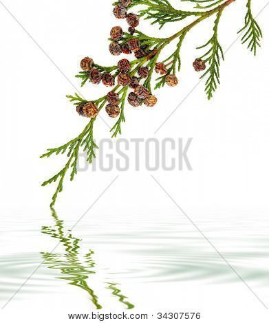 Cedar cypress leyland leaf branch with pine cones over white background with reflection..
