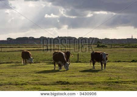 Ameland Cows In A Meadow