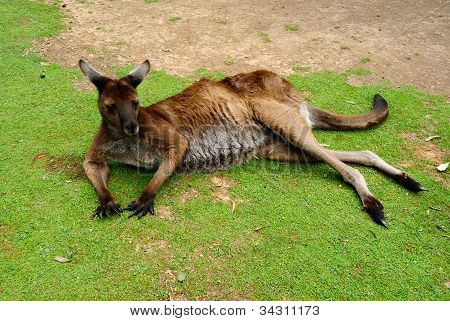 Sleepy Kangaroo Resting On The Ground
