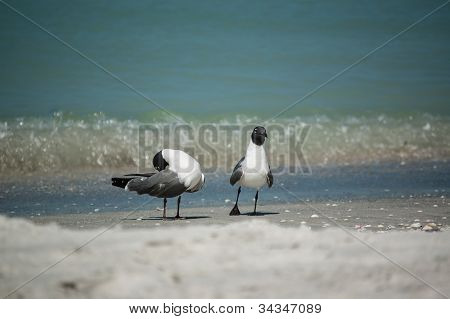 Laughing Gulls On A Florida Beach