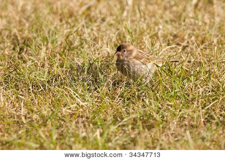 House Sparrow foraging in green grass