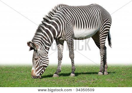pasturing Grevy zebra