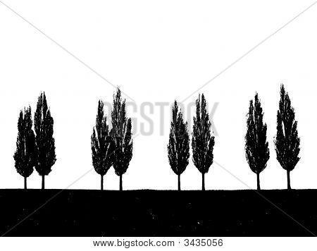 Black and white landscape of cypress trees